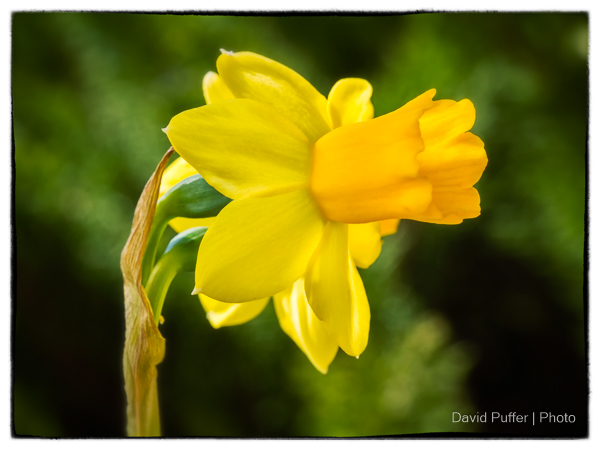 Liz alway's loved the spring Daffodil's, now they remind me of her.